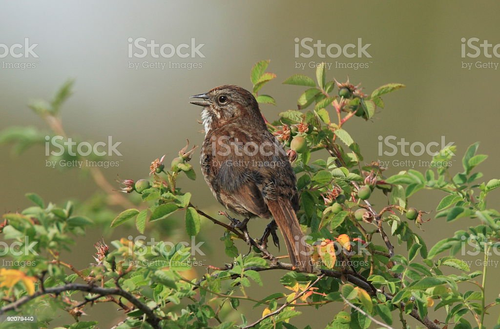 Song Sparrow royalty-free stock photo