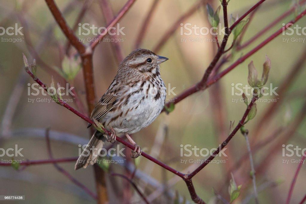 Song sparrow - Royalty-free Canada Stockfoto