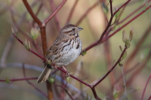 Song Sparrow Stockfoto en meer beelden van Canada