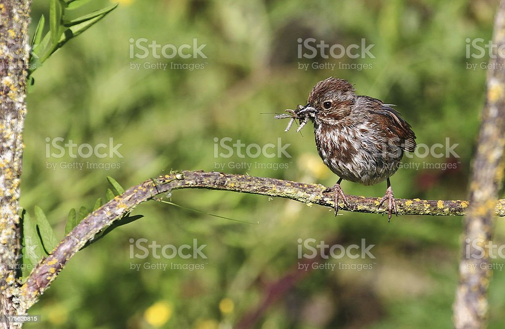 Song sparrow with a mouth full of bugs stock photo
