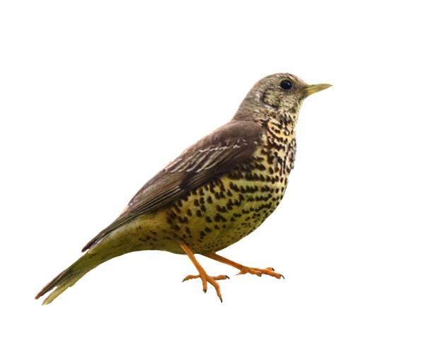 song thrush bird isolated on white background - song thrush imagens e fotografias de stock