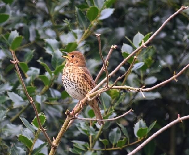 song thrush bird perching on tree branch - song thrush imagens e fotografias de stock