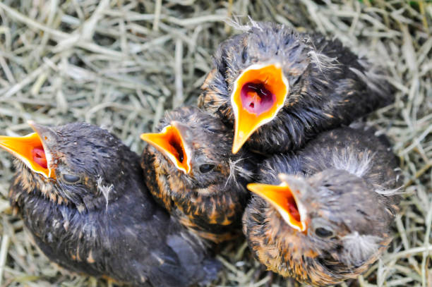 song thrush chicks open their mouths for food in a nest - song thrush imagens e fotografias de stock