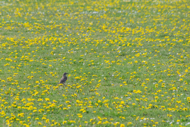 song thrush (turdus philomelos) collecting insects and worms in a field of wild flower dandelions and daisies in spring - song thrush imagens e fotografias de stock
