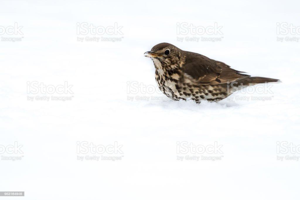 UK Song Thrush in the snow stock photo