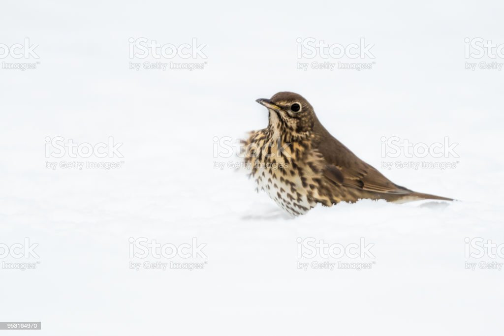 Song Thrush in the Snow stock photo