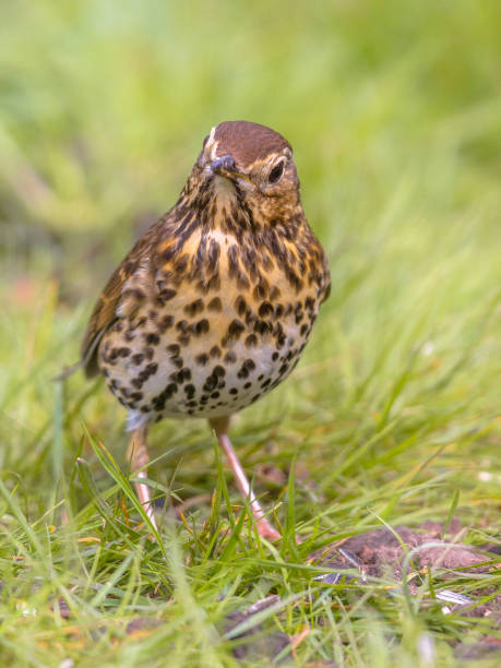 song thrush looking at ground with green grass background - song thrush imagens e fotografias de stock