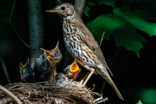 Cтоковое фото Song Thrush (Turdus philomelos).
