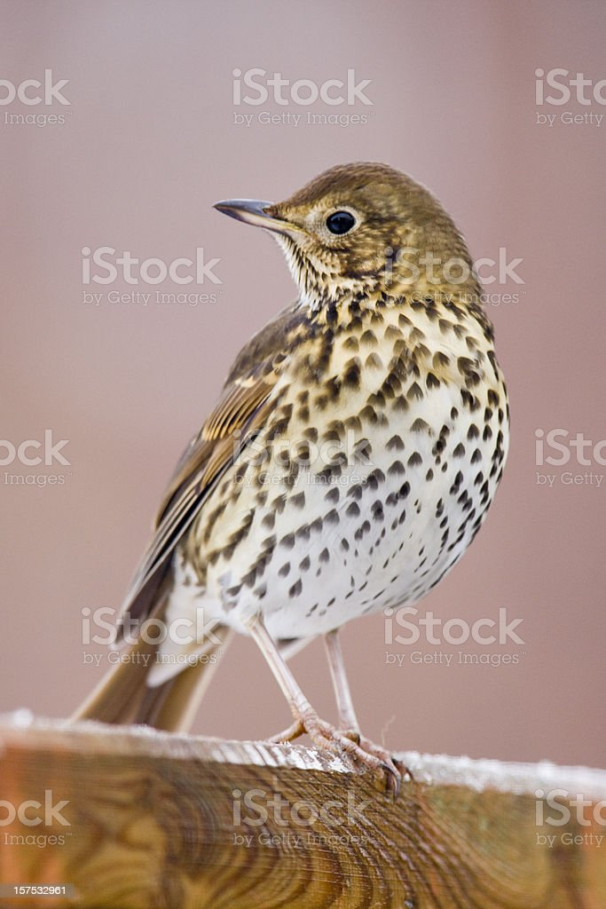 Song Thrush (Turdus philomelos) royalty-free stock photo