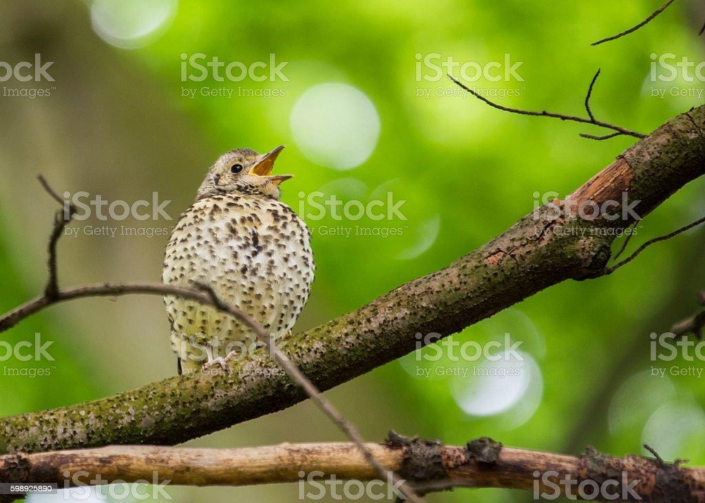 Song Thrush (Turdus philomelos) stock photo