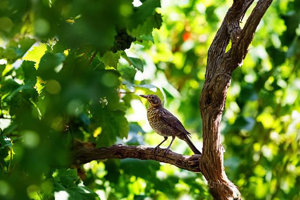 música candidíase sentado em ramos de vinho - song thrush imagens e fotografias de stock
