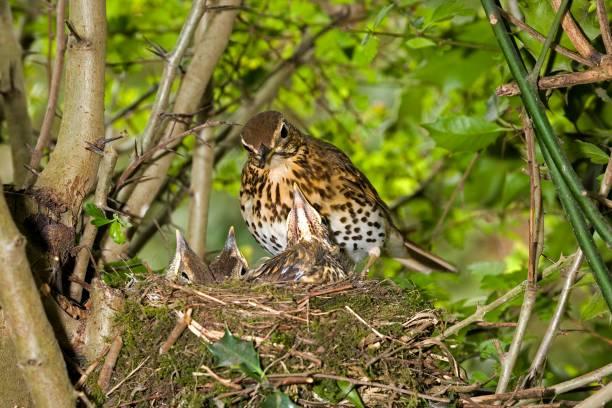 song thrush, turdus philomelos, adult with chicks at nest, normandy - song thrush imagens e fotografias de stock