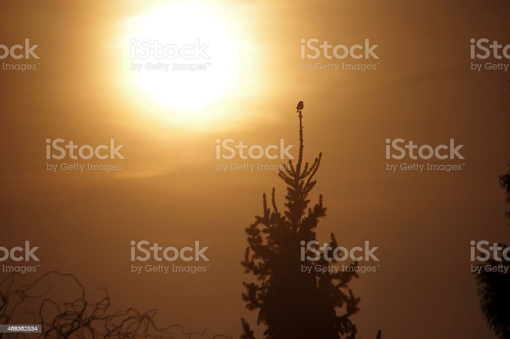 Songbird at daybreak royalty-free stock photo