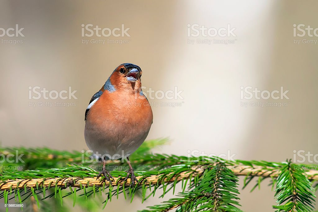 songbird Chaffinch sings on the branches stock photo