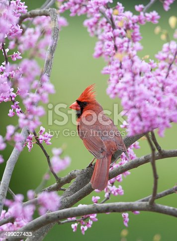 Northern Cardinal, in spring Red Bud Tree