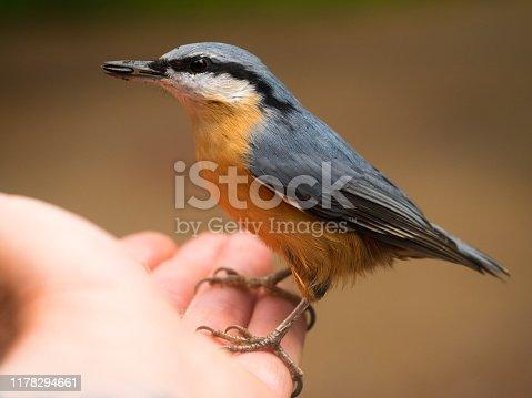 Seitliche Ansicht eines bunter Vogels (Kleiber-Sitta europaea) mit Fütter im Schnabel auf einer ausgestreckten Hand.
