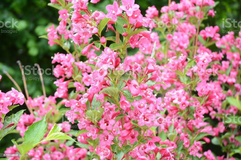 Sonic Bloom Weigela pink bush in spring stock photo