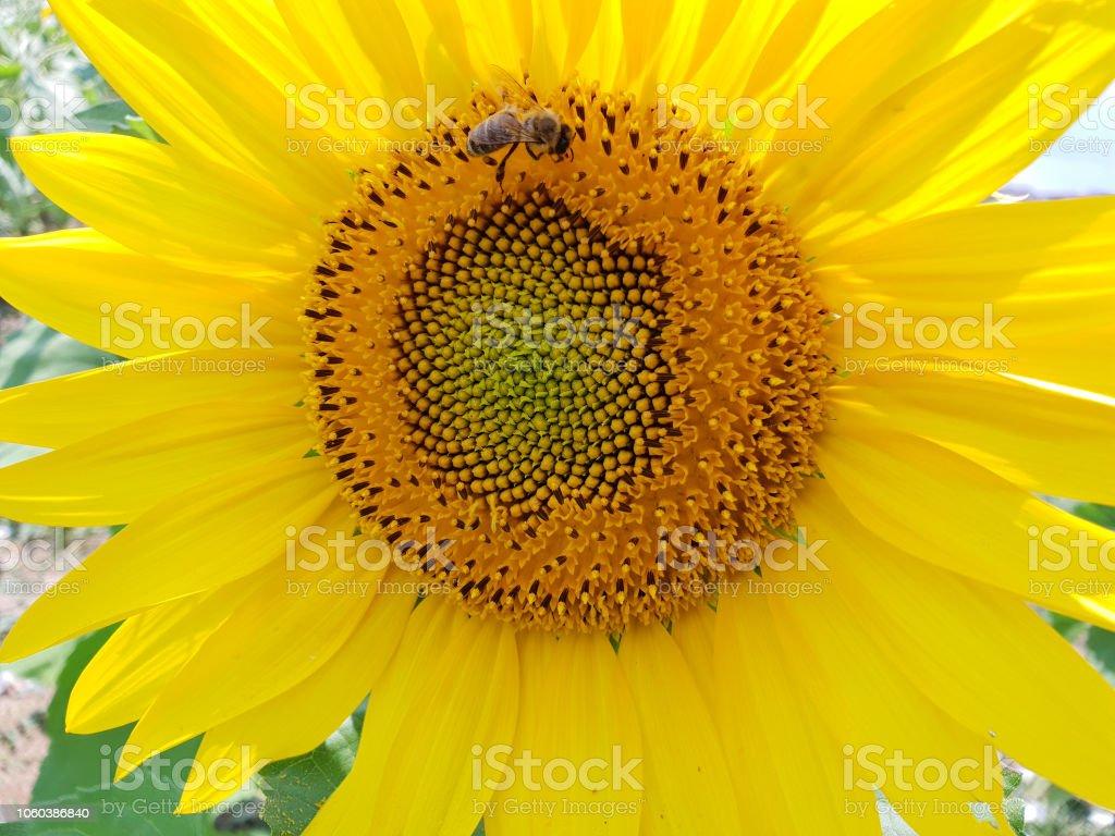 Sonnenblume und Biene stock photo