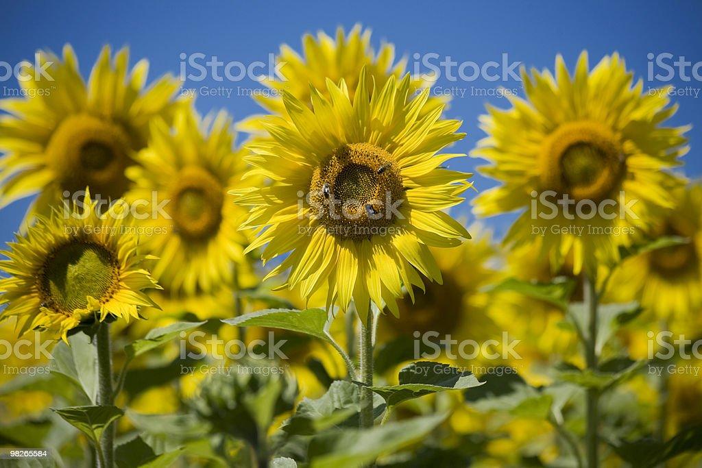 Sonnenblumen royalty-free stock photo