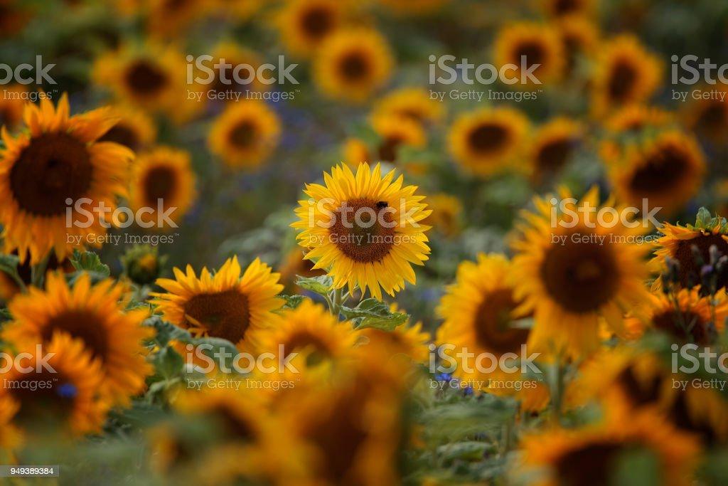 Sonnenblumenfeld / A beautiful field of sun flowers