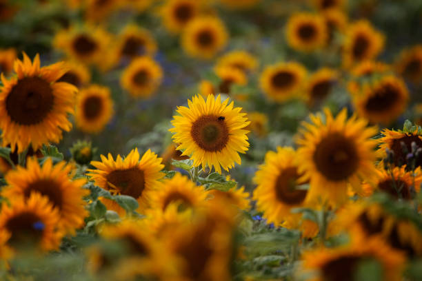 sonnenblumenfeld / a beautiful field of sun flowers - june stock photos and pictures
