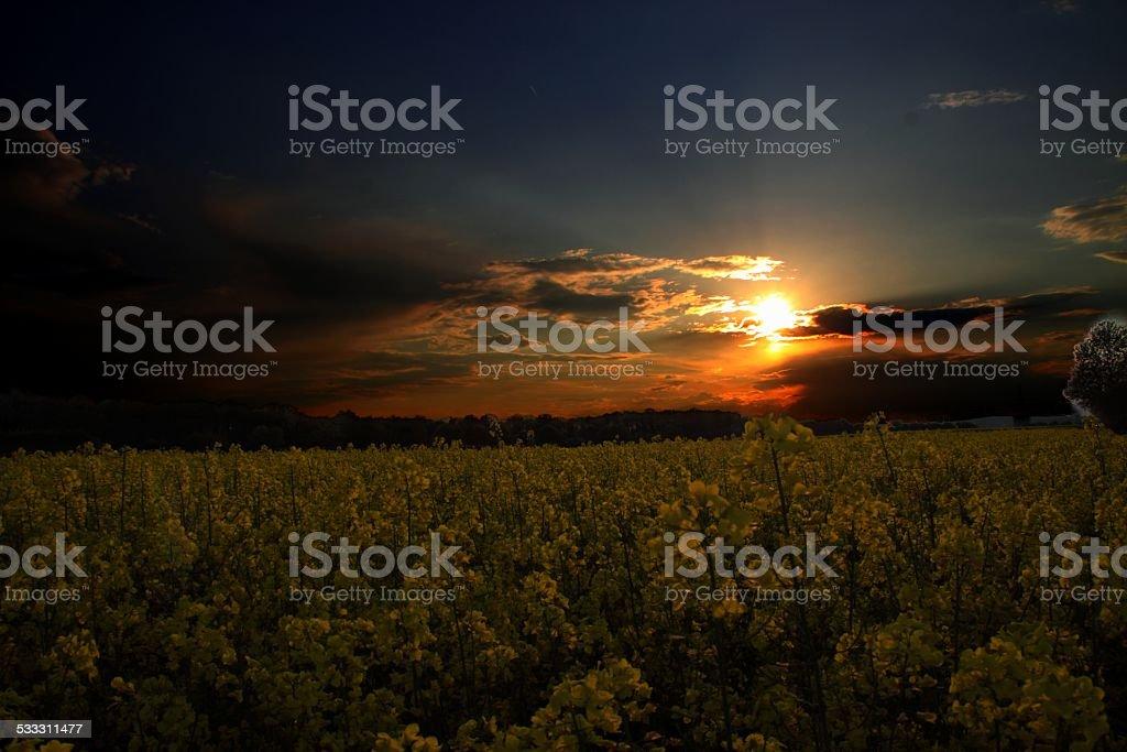 Sonnenuntergang und Rapsfeld stock photo