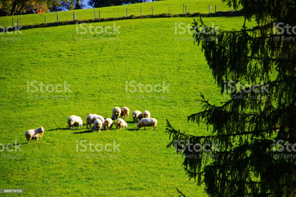 Sonnige Schafweide stock photo