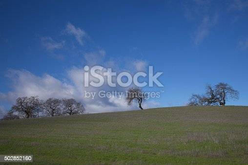Bare blue oak trees aligned on a hill in Sonoma valley. California.