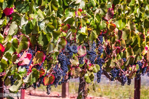 Ripe grapes and colorful autumn leaves at the local winery near Sonoma, USA.