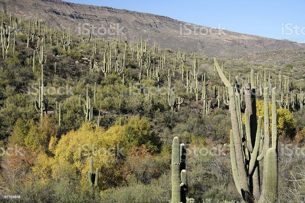 Sonoran Desert Cactus Forest royalty-free stock photo