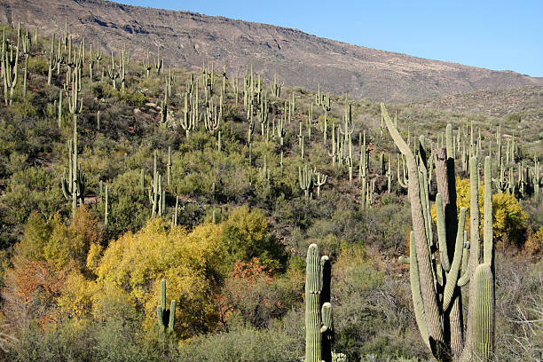 Sonoran Desert Cactus Forest  cottonwood tree stock pictures, royalty-free photos & images