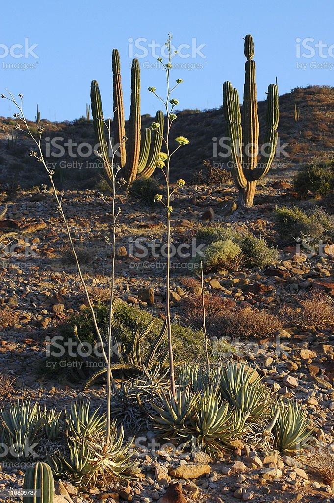Sonoran desert in morning light royalty-free stock photo