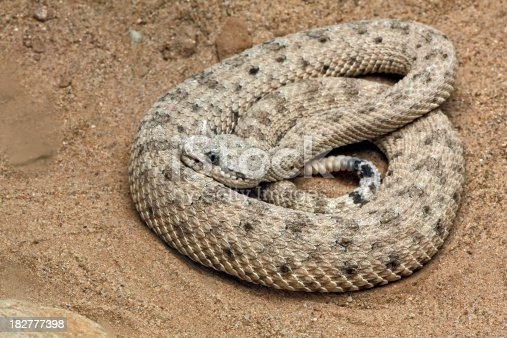 Close-up of Sonoran sidewinder snake in sand. AZ.