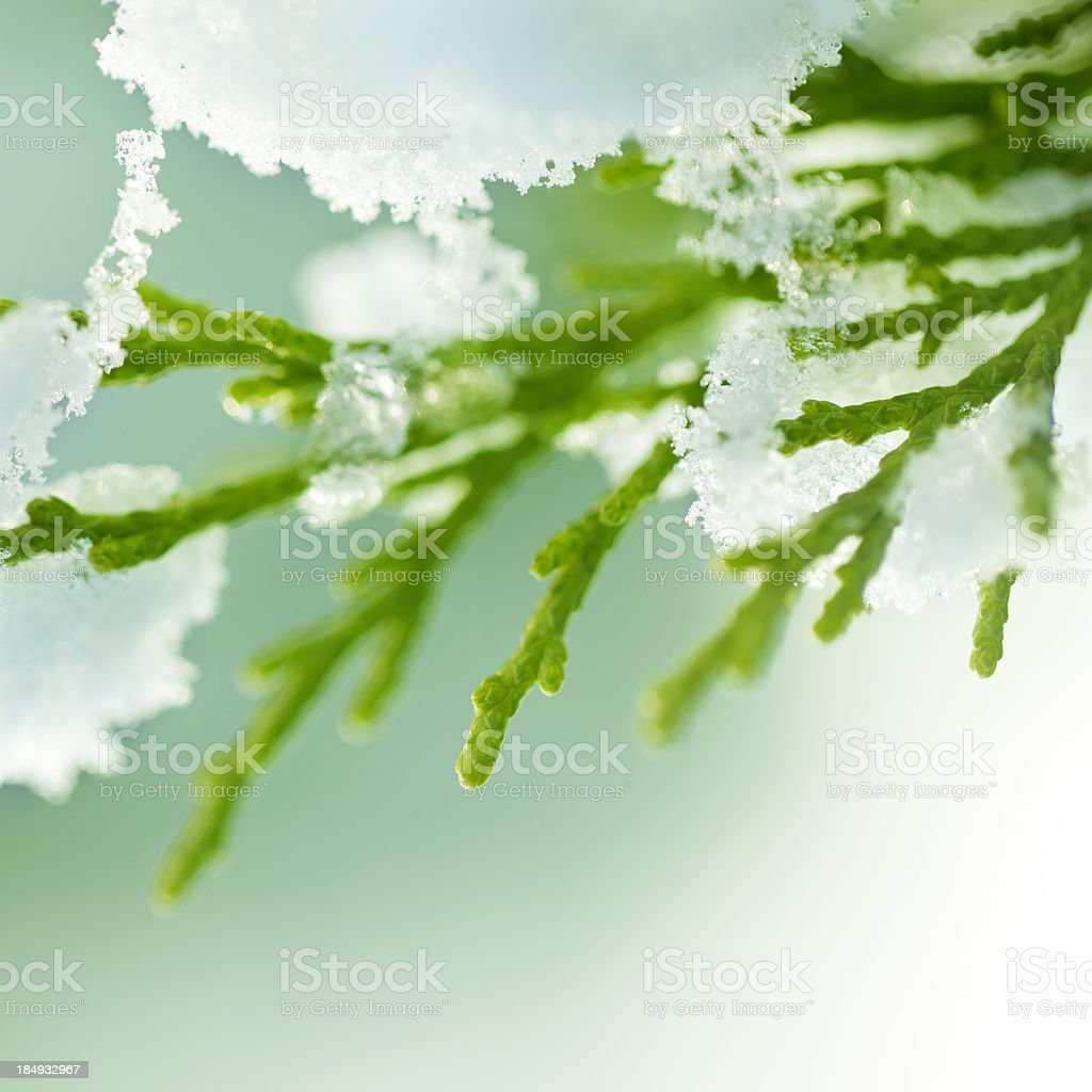 Sonw and pine leaf royalty-free stock photo