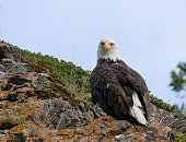 an Eagle sits on a cliff near the shore line of Kodiak Island, Alaska