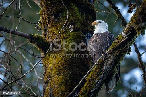 istock Soon Eagle. 1245230837