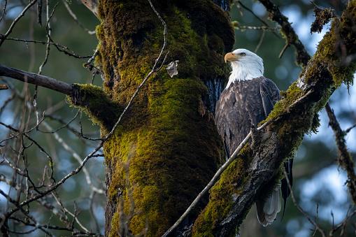 A majestic bald eagle soars overhead.