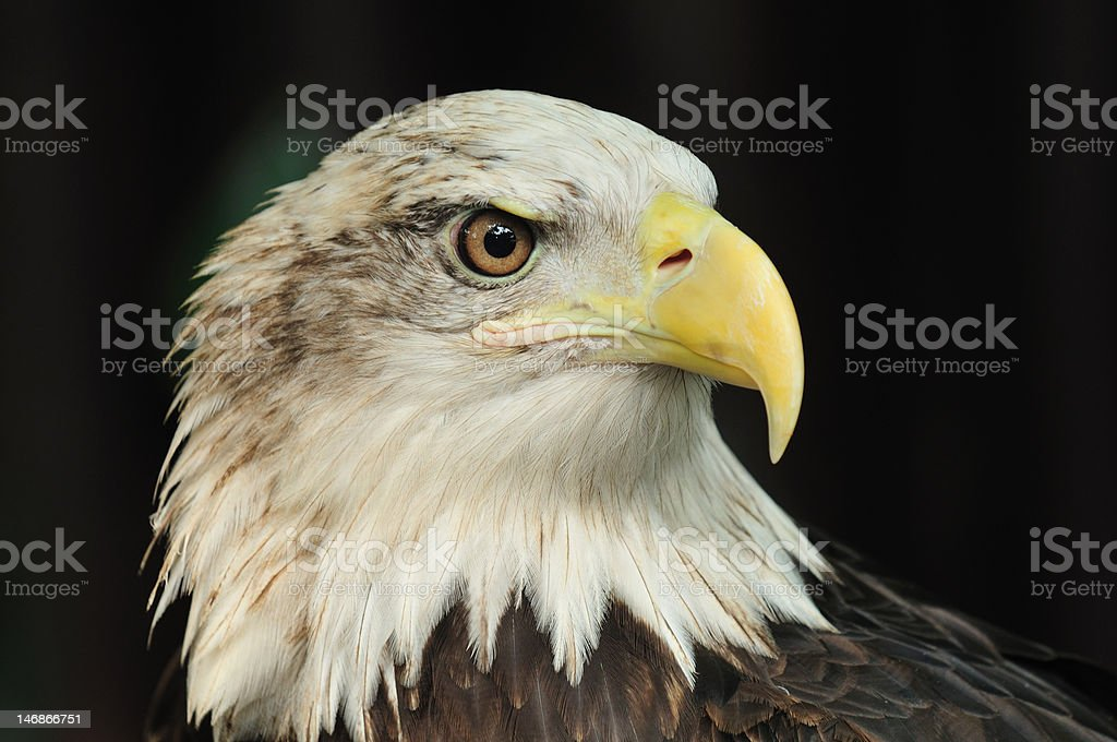 Bald Eagle stock photo