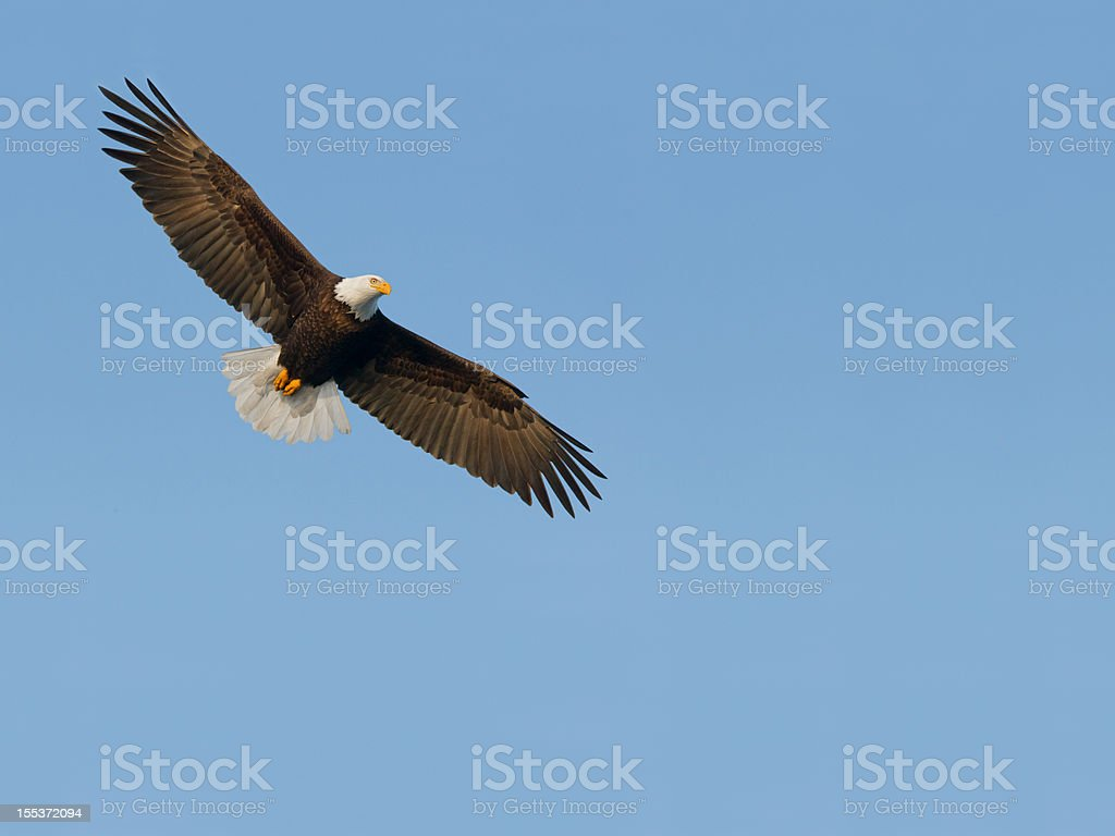 Bald Eagle royalty-free stock photo