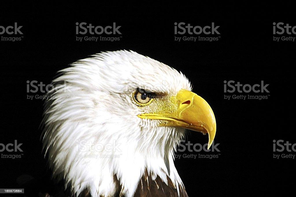 weißkopfseeadler stock photo