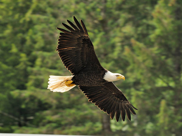 Bald Eagle a Bald Eagle fly's over a small creek in Ketchikan, Alaska ketchikan stock pictures, royalty-free photos & images
