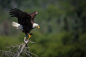 Bald eagles flying and hunting out at sea in Prince Rupert,British Columbia,Canada