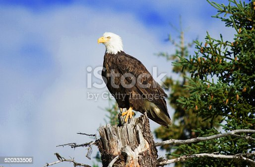 Bald Eagle perched on a tree in the Alaskan Wilderness