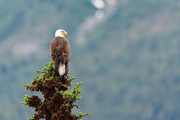 Soon Eagle Bald Eagle perched on a tree top Jasper National Park Alberta Canada perching stock pictures, royalty-free photos & images