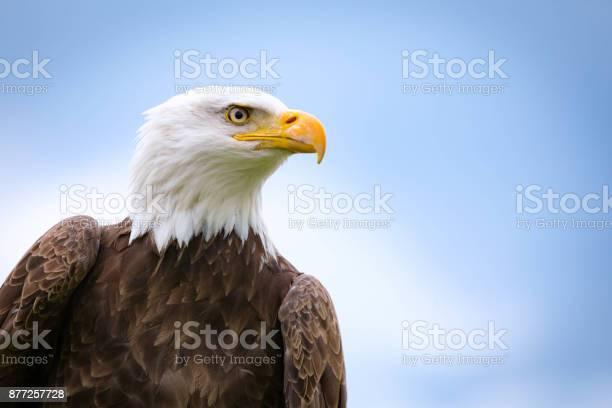 Bald eagle picture id877257728?b=1&k=6&m=877257728&s=612x612&h=rruukmrvr vxvxnm12xub1w itgjw by0jhbgps2 de=