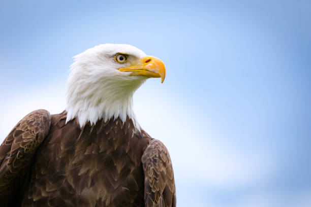 bald eagle - eagle stock photos and pictures
