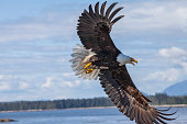 Bald eagles hunting and flying in Prince Rupert, Canada.