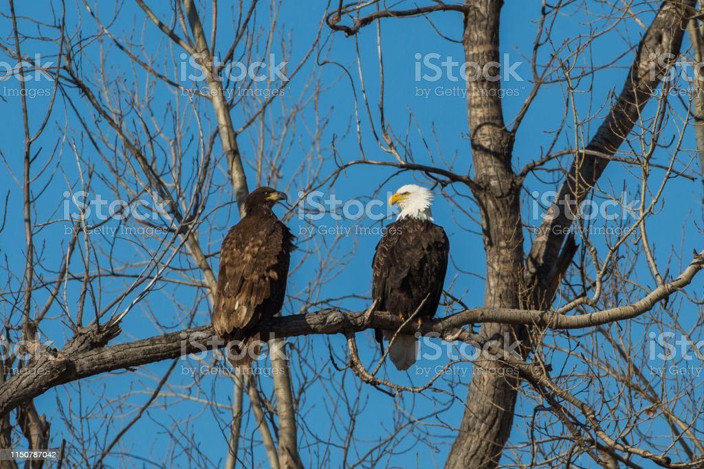 Soon eagles - Royalty-free Bald Eagle Stock Photo