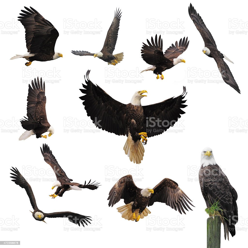 Bald eagles. stock photo