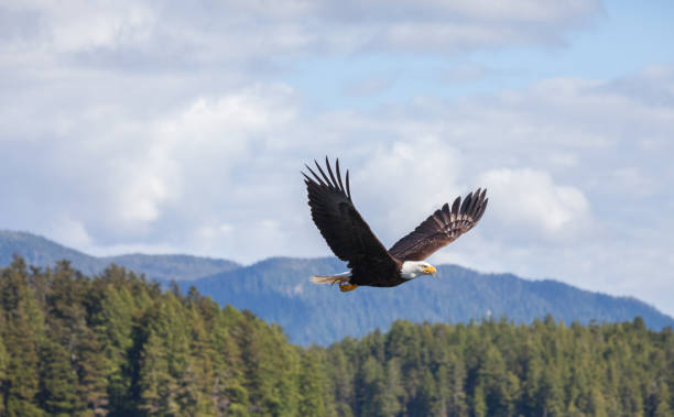 bald eagles - eagle stock photos and pictures
